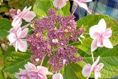 Blue-Heron-3G-Hydrangea-macro-Double-Delights-Star-Gazer-bloom