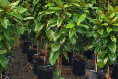 Blue-Heron-5G-Magnolia-Edith-Bogue-Tree-Form