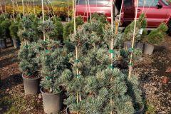 Blue-Heron-5G-Pinus-parviflora-glauca