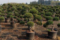 Bountiful-20G-Pinus-Sylvestris-Topiary