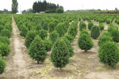 Buxus-Green-Mtn-field-2-cone