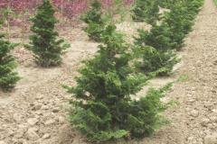 Chamaecyparis-obtusa-Hinoki-cypress