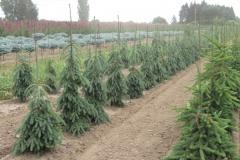 Picea-glauca-Pendula-weeping-white-spruce
