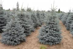 Picea-pungens-Baby-Blue-block