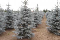 Picea-pungens-Bakeri-5-6ft