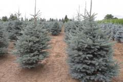 Picea-pungens-Fat-Albert-5-6ft
