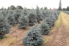 Picea-pungens-Fat-Albert-lt-Baby-Blue-rt-same-age