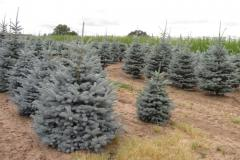 Picea-pungens-Hoopsi-5-6ft