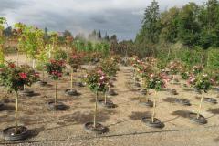 Rose-standards-on-trial-Weeks