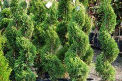 Thuja-occ-Emerald-Green-6-Spiral