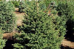 Marjama-Picea-abies-Black-Hills-3-4