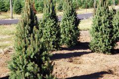 Marjama-Picea-abies-Wellspire-5-6