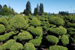 Marjama-Picea-conica-gl-Cloud-Form
