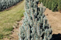 Marjama-Picea-pung-Fastigiata