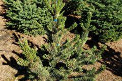 Marjama-Pinus-Aristata-30-36