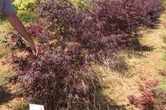 Acer pal. Pung kil (dwarf palmatum w/Linearlobum leaves