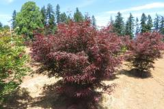 Acer-palm-Hubbs-Red-Willow-6ft-1-3-4-to-2in-caliper