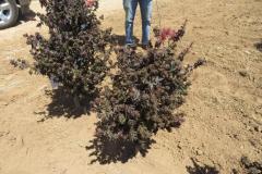 Acer-palm-Kurenai-Jioho-dwarf-purple-18-24in