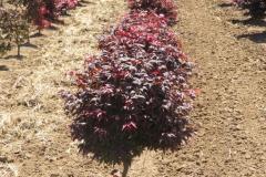 Acer-palm-Rhode-Island-Red-dwarf-18-24in