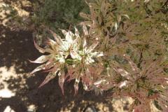 Acer-palm-Ukigumo-variegated