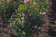 Hibiscus-syr-Aphrodite-STD