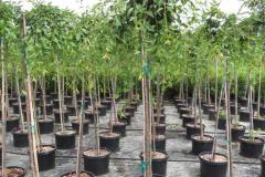 Prunus-sub-Pendula-5ft-std