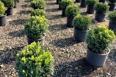 Fisher-Farms-7G-Buxus-Winter-Gem