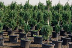 Fisher-Farms-7G-Junier-Blue-point-3-Ball-Topiary
