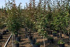 Fisher-Farms-7G-Malus-Profusion