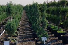 Juniper-Blue-Point-Spirals-Topiary-2Ball-7G