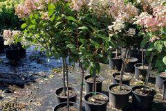 Hydrangea pan Quick Fire #7 Tree Form