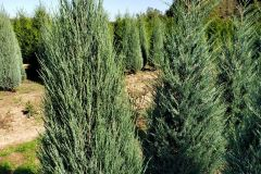 Juniperus scop Blue Arrow 5-6ft