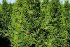 Thuja plicata Green Giant