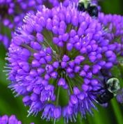 Allium Millenium Head