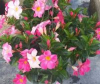 Mandevilla Tropical Breeze Blushing Pink